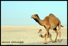 family (s.k300c) Tags: family march nikon desert camel arab kuwait arabian camels 2009 d300      smallcamel thechallengefactory nlkond300