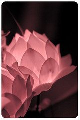 Stardom (Lindsaymp) Tags: birthday travel pink light celebrity beauty asia pacific lotus buddha korea celebration seoul lantern stardom lanternfestival rok muted 1600iso earthasia canon40d135lf2