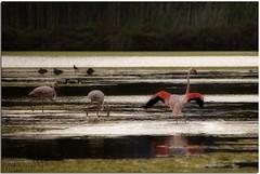 Flamingos :: No HDR (Salva Mira) Tags: birds reflections aves salinas kdd aus reflexos flamencos reflejos pasvalenci salines calp nohdr qdd flamencs salvamira eixidetes eixidetespelpasvalenci