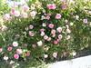rosebush ramni hania chania