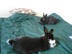 P5120008 (sotepetsenu) Tags: bunny ophelia hiyori
