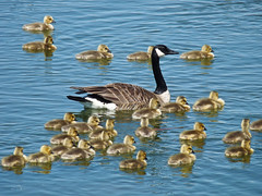 Cheaper by the dozen(s) (annkelliott) Tags: canada bird nature water birds swimming lumix pond explore goslings alberta ornithology canadagoose brantacanadensis avian coaldale birdofpreycentre southernalberta interestingness245 i500 annkelliott nearlethbridge fz28 panasonicdmcfz28 birdshare p1080601fz28 explore2009may25