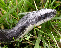Visitor--Black Rat Snake