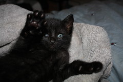QB High Five day 4 (Venessa Nina) Tags: new york city nyc boy rescue black cute male cat photography furry kitten funny boulevard blueeyes small young adorable kitty whiskers queens growth age qb stray meow nina fracture blvd injured abused brokenleg venessa catmoments fivefootmohawk venessaninaphotography