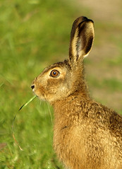 Hare today (Mr Grimesdale) Tags: nature hare wildlife britishwildlife e510 olmpus mrgrimsdale stevewallace 15challengeswinner mrgrimesdale