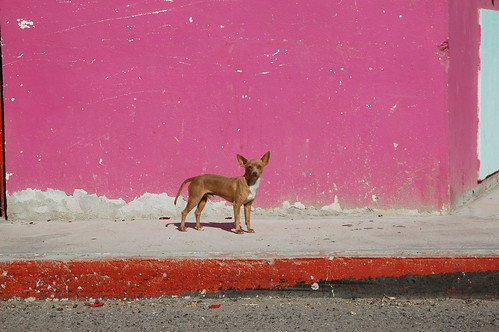 Red Chihuahua poses for a photo, white chest flash, male, with a pink wall, in La Purisima / San Isidro, West Coastal, Baja California Sur, Mexico