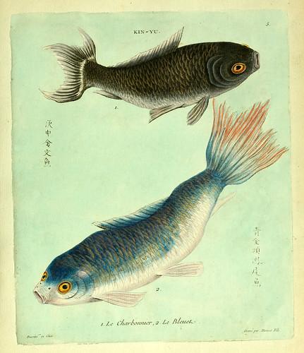 004- El carbonero y el azulado-Histoire naturelle des dorades de la Chine-Martinet 1780