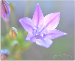 Delphinium Glow (Tracey Tilson Photography) Tags: blue flower macro nature closeup garden 50mm petals nc spring nikon glow purple natural blossom bokeh north may stamen micro carolina bloom nikkor delphinium 2009 d90 ihavethebestflickrfriends