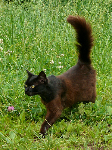 cat with brown body, black head and big tail coming from the grass