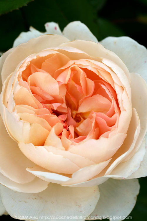 A rose is a rose is a rose | foto e fornelli