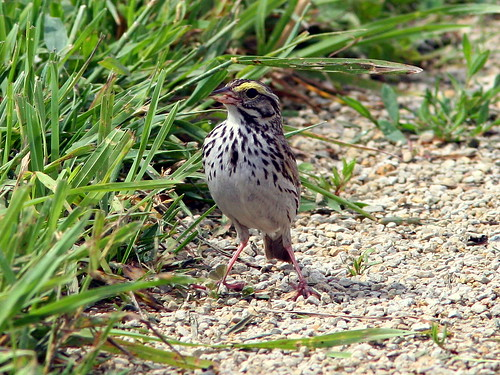 Savannah Sparrow20090618