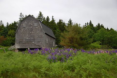 Barn and Lupine in Stonington
