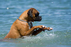 The double foot attack (izthistaken) Tags: dog swimming fawn taylor boxer stick brindle gizmo fawnboxer