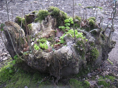 small-tree-stump-hazelmere-woodsorrel