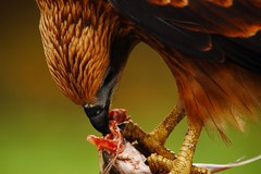 Lunch break (challiyan) Tags: fish bird birds lunch amazing eagle superb awesome kerala aves awsome mice ave stunning predator cochin kochi cultural brilliance talented thrissur trichur keralam vipin awesom bestphotos graet greatshots sigma170500 greatpictures picturesforsale topphotos stuning awesomepics chally awespme specialphotos siperb challiyan chalksy vipincp camerockscom camerocks brilliantshots