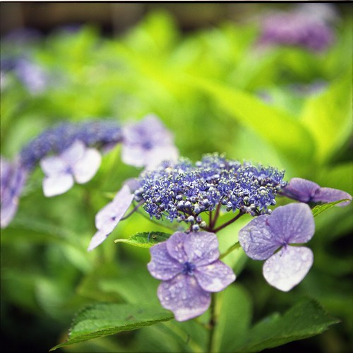 紫陽花の6月