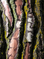 Bark (Squirmelia) Tags: newzealand tree bark waiotapu thermalwonderland