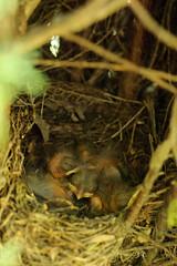 Merlini (JohnDoodo) Tags: digital 50mm nikon chick eggs chicks cypress nikkor blackbird merlo cuccioli uova d90 pulcino cipresso pulcini