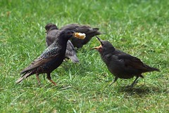 Starling and Chick (saxonfenken) Tags: pregamewinner starling chick feeding grassbirds gardenbirds gamesweepwinner challengewinner friendlychallenges 134bird 134 tcf challengeyouwinner