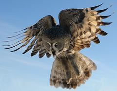 Lentäen...(etelään toviksi) (mattisj) Tags: bird bravo greatgreyowl owl greatgrayowl birdwatcher strixnebulosa lintu lapinpöllö specanimal specanimalphotooftheday lentokuva flightpic specanimalphotoofthemonth supereco specanimalphotooftheyear superecowinner