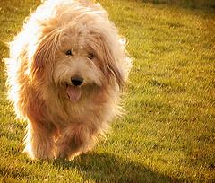 clarkNeedsHaircut (SteveStudio.GrandPaparazzi) Tags: sunlight grass tongue backlight square lawn longhair terrier panting wheaten