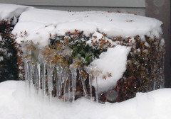 DSCN7808.1 (S-400) Tags: winter brown white snow green ice bush massachusetts snowstorm icicles taupe iciclesonbush