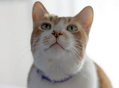 Paconzo (~ielle~ ilarialuciani.com) Tags: pet look animal cat iaia sguardo paco ila mybest gatto mycat ilarialuciani