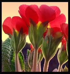 Primrose (blue-poppy) Tags: flower macro art texture primrose platinumphoto anawesomeshot impressedbeauty overtheexcellence colourartaward goldstaraward rubyphotographer