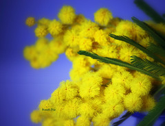 ... la Donna è sempre la Donna (FranK.Dip) Tags: canon giallo donne mimosa brindisi 8marzo eos450d festadelladonna frankdip