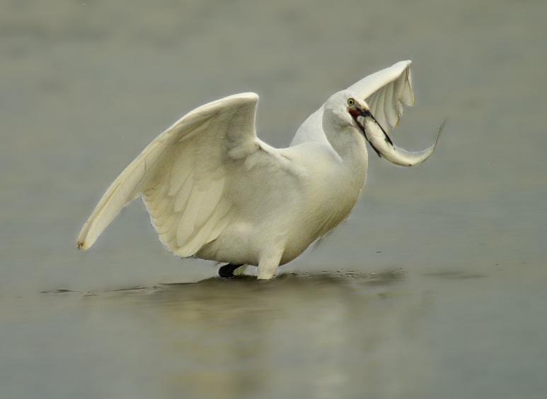 Little Egret with Mullet