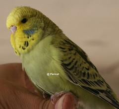 h-v-gris-opa3 [800x600] (periscat) Tags: baby budgie 2009