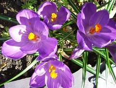 sun drenched croci