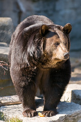 North American Black Bear at the Detroit Zoo