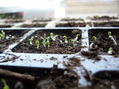 Little basil seedlings..