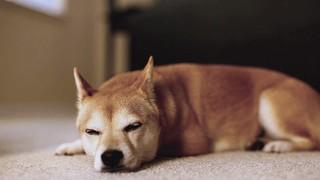 Lazy Shiba