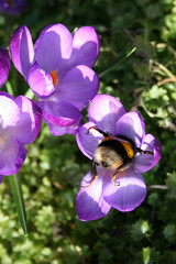 A Bee's butt - Frühling wird von einer Hummel eingeläutet (Jörgenshaus) Tags: germany deutschland spring bumblebee rheinland frühling hummel bigmomma challengeyouwinner pfogold thechallengefactory frühling2009