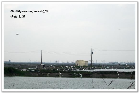魚塭的白鷺鷥二
