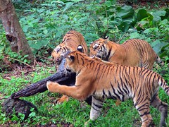 Team Work (Aithal's) Tags: work team group tigers playful teamwork mangalore murali pilikula canons3 aithal flickrbigcats aithals tigergroup