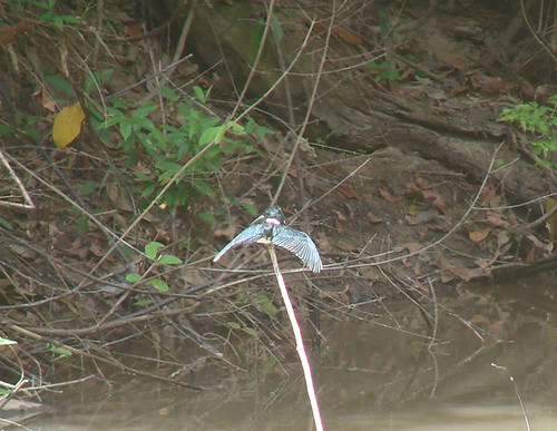 An Amazon Kingfisher suns in Guyana, closely approximating the posture of a limed bird.