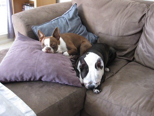 My boston terriers