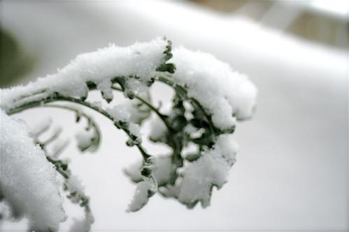 Snow_Herb