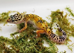 "Leopard Gecko (Eublepharis macularius) (Paul ""Razor"" Ritchie) Tags: macro animals gold nikon gecko leopardgecko d60 eublepharis macularius nikon1855mm march2009 paulritchie vosplusbellesphotos thelizardwizard"