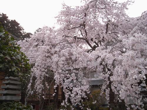 2009年-桜@専称寺(香芝市)