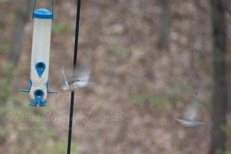 birdsonfeeders_032609_0002web