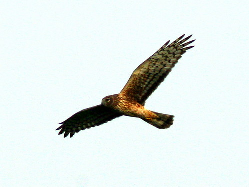Northern Harrier Female 20090328