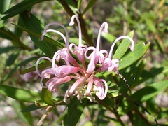 Grevillea sericea flower (John Tann) Tags: pink como flower march australia nsw 2009 grevillea sericea proteaceae geo:country=australia grevilleasericea pinkspiderflower taxonomy:family=proteaceae taxonomy:genus=grevillea taxonomy:species=sericea taxonomy:binomial=grevilleasericea geo:alt=20m taxonomy:common=pinkspiderflower parunareserve