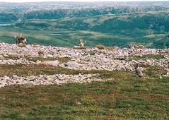 scan0016  Arctic Hare and Caribou (Mark R. Tsang) Tags: newfoundland nikonf100 caribou fallcolours arctichare grosmornenationalpark highalpine rangifertarandus lepusarcticus caribouandarctichare markrtsang markincb markrtsangphotography copyrightmarkrtsang nottobeusedorcopiedwithoutmypermission