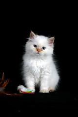 Winston (LaurieHaagPhotography) Tags: cat kitten kitty himalayan whitekitten