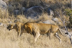 Lions (Arno Meintjes Wildlife) Tags: africa park wallpaper nature animal southafrica mammal bush wildlife lion safari bigcat predator krugernationalpark carnivore big5 pantheraleo parkstock naturescall genuspanthera arnomeintjes