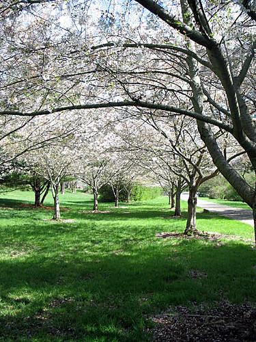 Sakura forest Maryville Tennessee